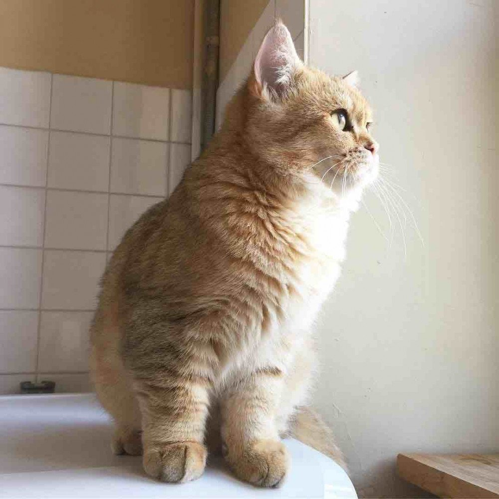 British Shorthair Golden
