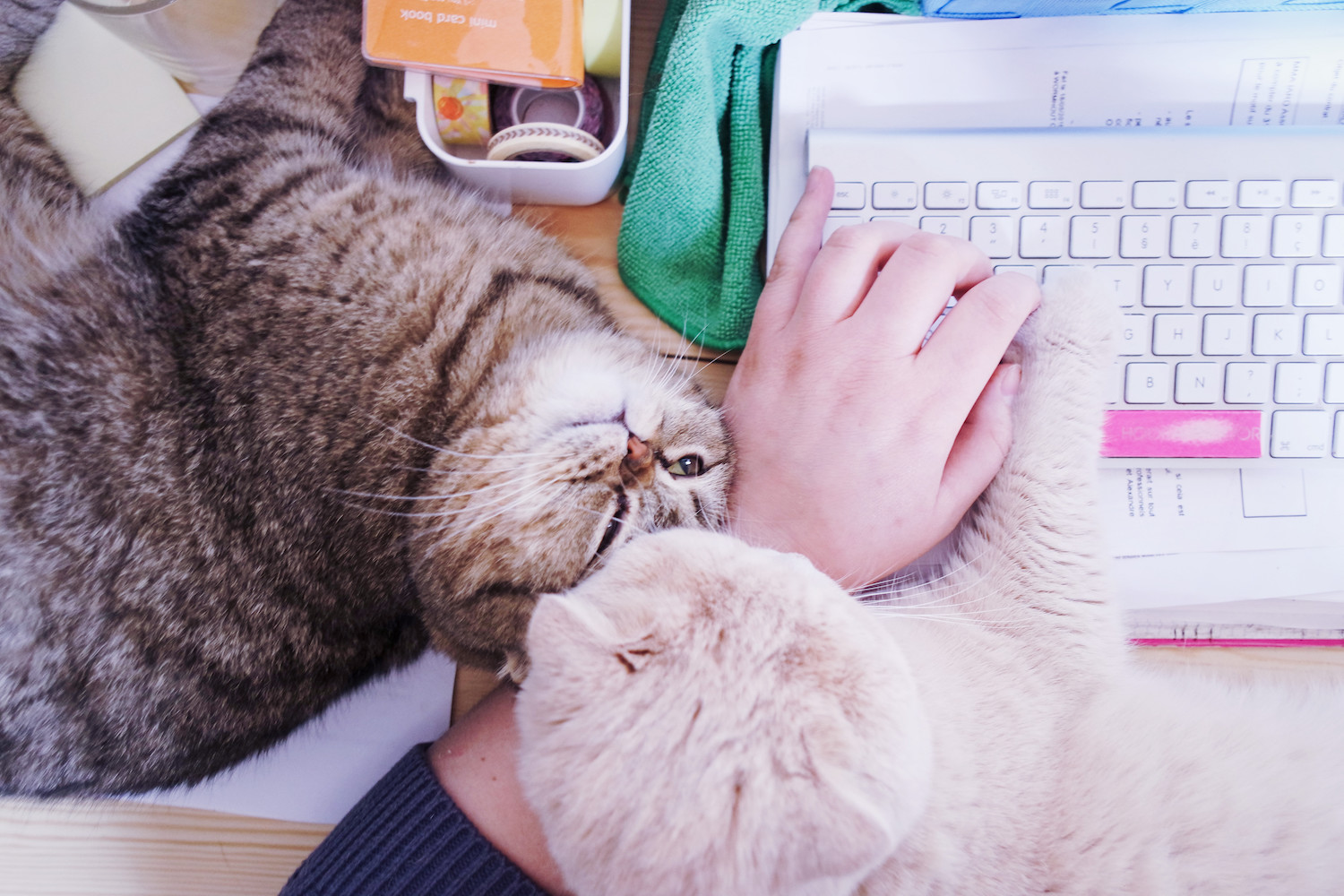 travailler-avec-chats-scottish-fold-3