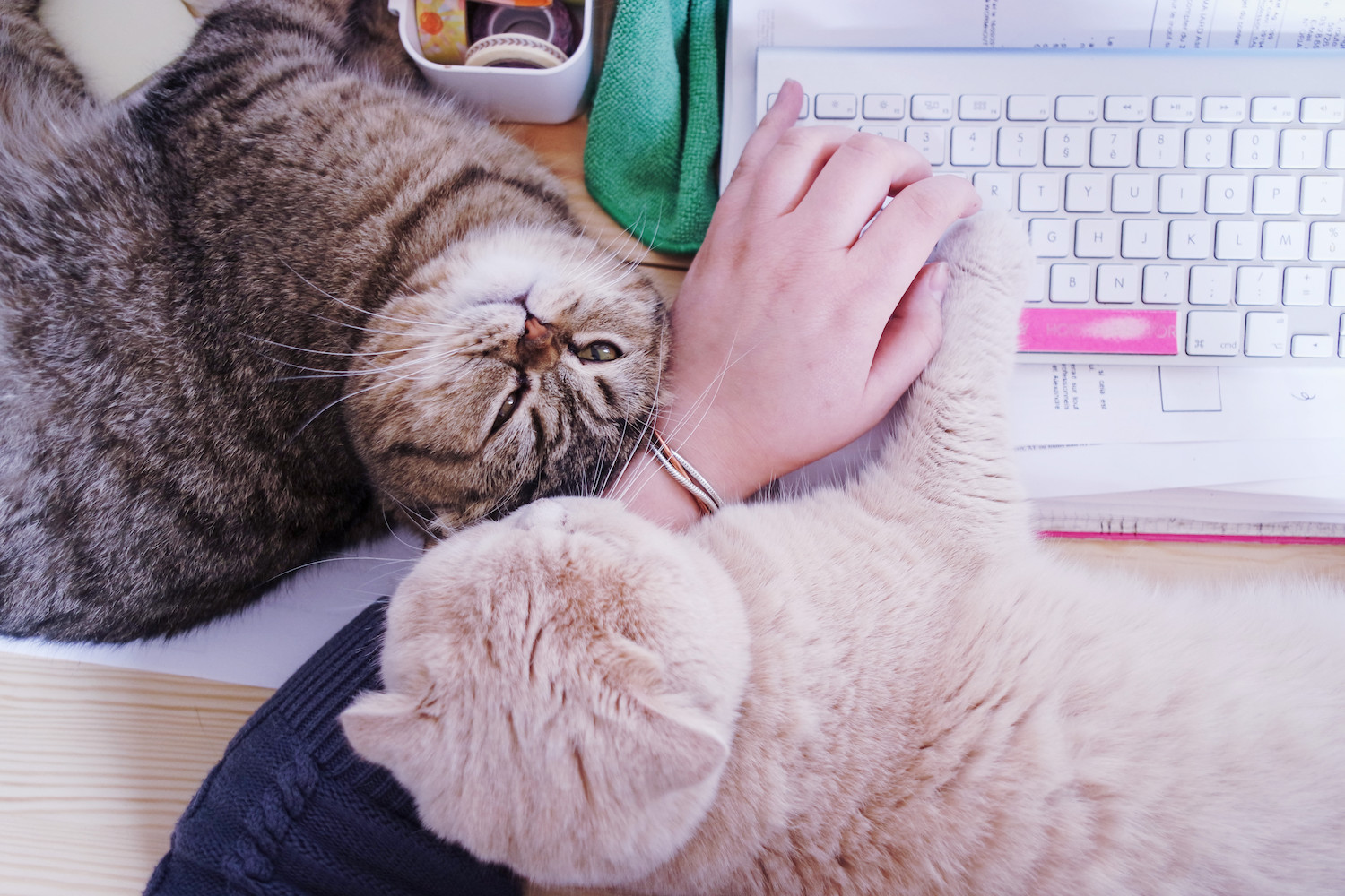 travailler-avec-chats-scottish-fold-5
