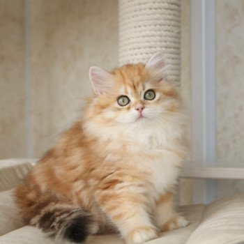 British Longhair brown (black golden) blotched tabby
