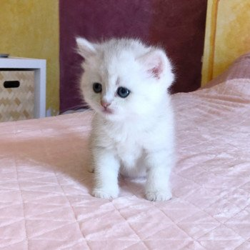 Kitten British Shorthair Ikki Chatterie Nekobaa