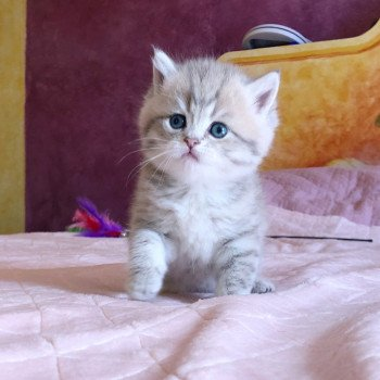 Kitten British Shorthair Isamu Chatterie Nekobaa
