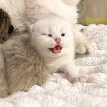 Kitten British Shorthair Itoe Chatterie Nekobaa