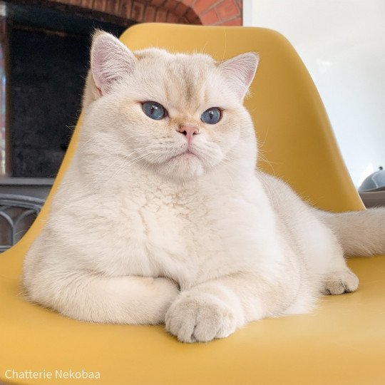 Raki  Mâle  British Shorthair