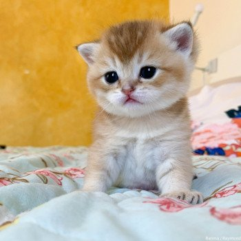 chaton British Shorthair golden Ranma Chatterie Nekobaa