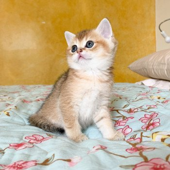 chaton British Shorthair brown (black golden) ticked tabby Ranma Chatterie Nekobaa