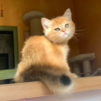 chaton British Shorthair brown (black golden) ticked tabby Rikku Chatterie Nekobaa