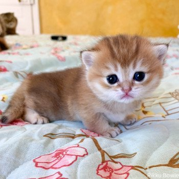 chaton British Shorthair golden Rikku Chatterie Nekobaa