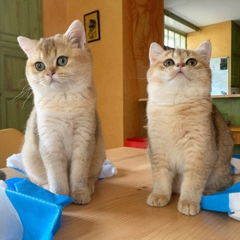 chat British Shorthair golden ticked tabby Ritsuko Chatterie Nekobaa