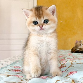 chaton British Shorthair golden ticked tabby Ritsuko Chatterie Nekobaa
