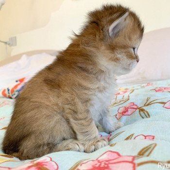 chaton British Longhair brown (black golden) ticked tabby Ryu Chatterie Nekobaa