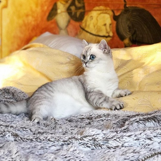 chat British Shorthair seal silver shaded point Strawberry Chatterie Nekobaa