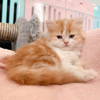 chaton Highland Straight red blotched tabby bicolor Seiya Chatterie Nekobaa
