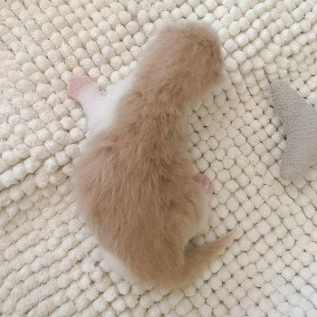 Highland Straight cream blotched tabby bicolor