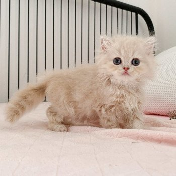 Highland Straight cream blotched tabby