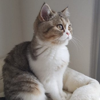 Scottish Straight brown blotched tabby bicolor