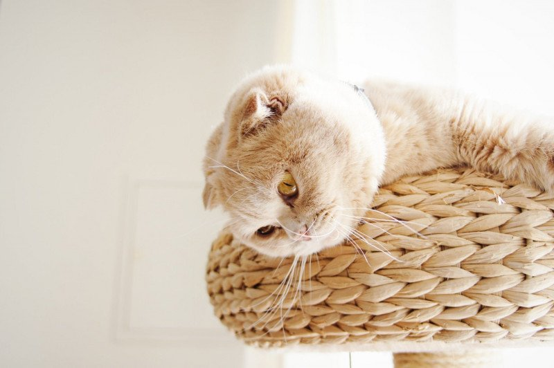 scottish-fold-holly-1