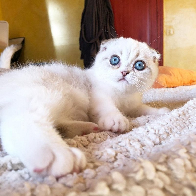 ebisu-scottishfold-3m black silver shaded & blanc