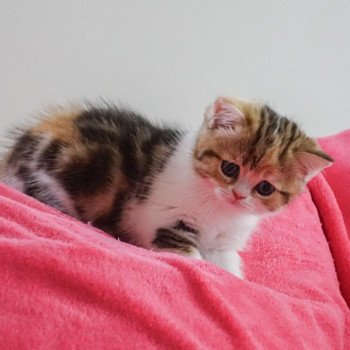 Scottish Straight brown tortie blotched tabby bicolor