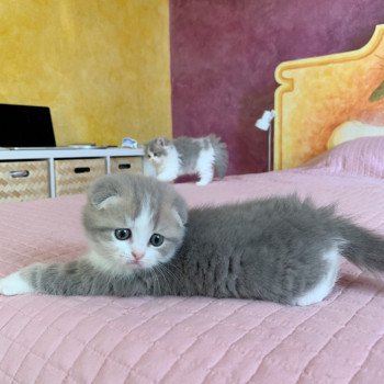 Scottish Fold blue golden blotched tabby bicolor