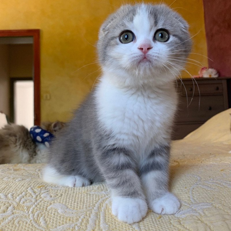 Linoa  Femelle  Scottish Fold